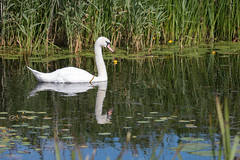 Mute Swan (oandrews) Tags: england bird nature water animal fauna canon river outdoors swan unitedkingdom gb muteswan cygnusolor hundredfootwashes chatteris ousewashes canonuk canon70d rspbousewashes