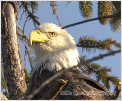 Bald Eagle closeup (Mike Black photography) Tags: new november winter white black bird fall mike nature canon photography eagle wildlife birding bald nj aves shore jersey f56 2014 800mm