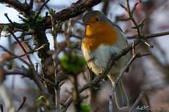 Robin (Erithacus rubecula) (kw2p) Tags: robin birds canon erithacusrubecula avian canoneos7d kennywilliamson kw2p cairnhillwood
