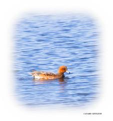 Canard siffleur (guy.westrelin) Tags: oiseau canard siffleur