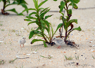 Least Tern Chicks
