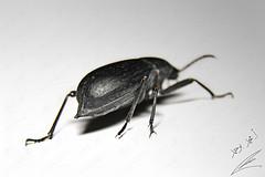 Beetle & streamlined shape (محمد بوحمد بومهدي) Tags: animal bug insect nikon beetle insects bugs mohammed beetles حيوانات حشرة حيوان d810 maicro نيكون بوحمد buhamad حشرات مايكرو خنافس خنفساء أمحمدبوحمد