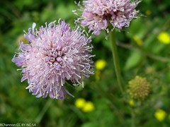 multiplant, Pangbourne&Tidmarsh, scabiosa, jdy189 XX200707081250-2.jpg (rachelgreenbelt) Tags: uk greatbritain england mix europe unitedkingdom berkshire scabious scabiosa pincushionflower pangbourne floweringplants dipsacaceae dicots eudicots asterids dicotyledons divisionmagnoliophyta dipsacales familydipsacaceae orderdipsacales pangbournetidmarsh dipsacalesorder asteridsclade campanulidsclade dipsacaceaefamily genusscabiosa scabiosagenus