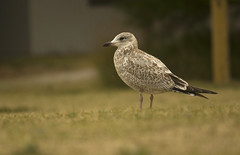 Young Seagull August - 2014 - 19 - 1 (njumer) Tags: seagulls bird nature birds animal animals digital canon photography rebel photo photos michigan wildlife seagull young ring dslr vertebrate vertebrates billed t2i