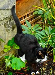 Gosh! Pee somewhere else!!! (julianavossandreae) Tags: chimney white house black cute cat weird funny juliana peeing