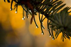 Fall Colors (JarrodLopiccolo) Tags: fall water drops nevada capital sierra dew sierras waterdrops sierranevada carsoncity