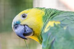 Parque das Aves (mcvmjr1971) Tags: macro paran birds brasil nikon aves f28 papagaio parquenacional 150mm parquedasaves lenssigma d7000