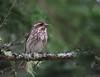 Purple Finch (jd.willson) Tags: birds island purple birding maine finch jd willson islesboro jdwillson
