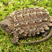 Alligator Snapping Turtle, Hatchling