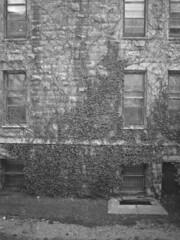 Hang Tight (Ian David Blm) Tags: windows bw 120 mamiya film leaves stone wall hospital mediumformat iso100 vines 645 montreal royal ivy delta surface victoria textures climbing negative ilford protl