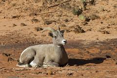 Desert Bighorn Sheep (Baractus) Tags: park usa john utah national zion np oates