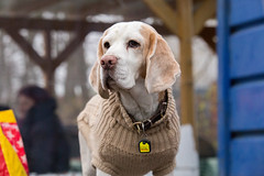 IMG_5844.jpg (peterrinzner) Tags: beagle sterreich niedersterreich biedermannsdorf beaglewiese humphreyhuutchofgrantsgarden