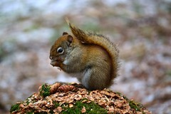 cureuil (pascal_roussy) Tags: canada squirrel wildlife qubec cureuil faune gaspsie