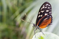 Butterfly Resting (fenicephoto) Tags: