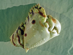 Claw of a shame-faced crab found on the beach near Destin, Florida (Hawkfish) Tags: gulfofmexico florida crab destin okaloosaisland santarosaisland floridapanhandle canonpowershots100 calappaflammea flamedboxcrab shamedfacecrab