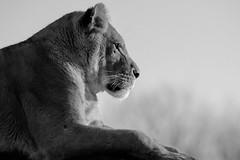 Just Lion There (Alisonfd) Tags: portrait cats white black face animals cat photo big side lion captivity sideon captivewildlife tc14e captiveanimals nikon300mmf4 blackandwhitewildlife blackandwhiteanimal captivelion nikond7000