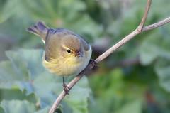 Felosa Comum - Chiffchaff - Phylloscopus collybita (Yako36) Tags: bird portugal ave birdwatching peniche ferrel tc14e nikonafs300f4 nikond7000