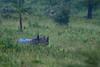 East African Black Rhino cow (Rainbirder) Tags: kenya lakenakuru dicerosbicornismichaeli eastafricanblackrhinoceros rainbirder