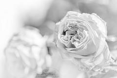 Rose du froid . (Julie Stiglio) Tags: november winter white black cold macro net rose canon de point photo focus noir bokeh hiver au champs blanche et blanc froid flou pétale profondeur pétales mise macrophotographie