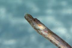 Crested Pipefish-Histiogamphelus briggsii (Sylke Rohrlach) Tags: life sea brown macro water fauna bay beige critter wildlife au under australia camouflage nsw australien braun jervis neutral syngnathidae seenadel