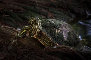 Lake Turtle (Explored)