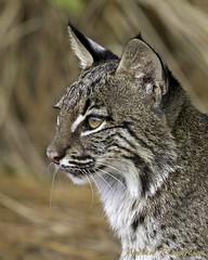 Bobcat (Andrew's Wildlife) Tags: