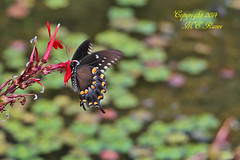 """Butterfly """"Spicebush Swallowtail"""" at Leonard J. Buck Garden of Far Hills New Jersey (takegoro) Tags: new red orange nature butterfly garden j pond wildlife insects bugs hills buck jersey"""" cardinalflower garden"""" """"leonard """"far """"spicebush swallowtail"""""""