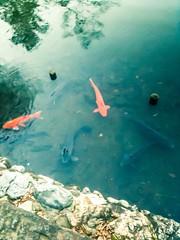 carps (KT.pics) Tags: park lake fish green water pool beautiful japan photography japanese pond colorful flickr outdoor  carp  kichijoji stroll wandered  iphoneography ktpics