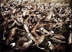 Norte chico (Pablo Aburto) Tags: chile pelicans birds puerto coquimbo mar aves pelican pelcanos