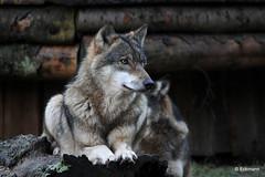 Grey Wolf - explore 12. Jan. 2015 (Nephentes Phinena ☮) Tags: wolf greywolf europeangreywolf wildparkeekholt grauwolf europäischergrauwolf
