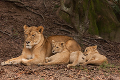 JaxZoo_1-14-15-4111 (RobBixbyPhotography) Tags: zoo florida lion lions jacksonville cubs lioness