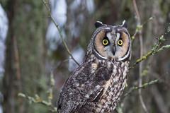 Long-eared owl (Asio otus) (Tony Varela Photography) Tags: owl longearedowl 1000views asiootus 1kviews photographertonyvarela asiosp