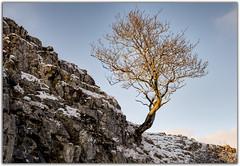 Catching the Evening Light (Digital Wanderings) Tags: tree lonetree malham yorkshiredales winsill