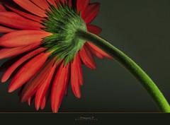 Gerbera2 (aniribe) Tags: light shadow red stilllife orange flower green nature beauty closeup nikon creative gerbera