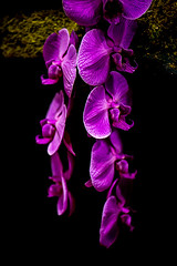 Orchid (Jordan Salkin) Tags: flowers plants newyork black orchid color macro nature blackbackground photography photo amazing cool pretty photographer purple orchids awesome small photographic rochester photograph tiny micro naturephotography 2016 naturephoto naturephotographer colros naturephotograph