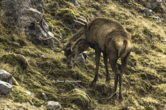 Solo Stag - Dining Alone (devil=inside) Tags: outdoors scotland highlands stag wildlife tamron handphotography sonya65