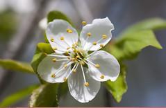 (Blooming cherry) (Nickolas Titkov) Tags: cherry spring may flowering sokolniki cerasus