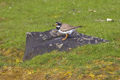 Ringed plover (Charadrius hiaticula) / Sandla (thorrisig) Tags: bird birds animals island iceland waterbird gras fugl sland orri thorri shorebird dorres wadingbird dr ringedplover charadriushiaticula hiaticula charadrius fuglar sandla icelandicbirds sigurgeirsson orfinnur vafuglar vafugl thorfinnur thorrisig orrisig thorfinnursigurgeirsson orfinnursigurgeirsson grallatorialbird slenskirfuglar 862014 sigurgeirssonorfinnur