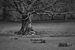 Protected Innocence (Annette Dahl) Tags: bw tree rural sheep innocence land lambs schlafen protected schafe lmmer friedlich