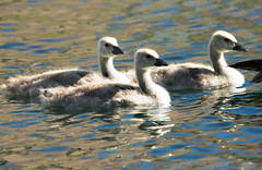 Near Mom's Tail Feathers (Karen McQuilkin) Tags: water swim geese pond young goslings karenmcquilkin nearmomstailfeathers