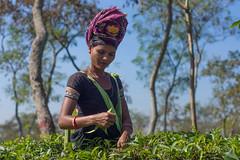 Tea Plantation Bangladesh (herr_muenchen) Tags: bd bangladesh teaplantation a77 landleben teeplantage srimongol bangladesch sylhetdivision sdasien a6000 sreemangalupazila nishargaecocottage