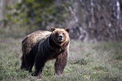 Bear Aware (RH Miller) Tags: bear usa wildlife yellowstonenationalpark grizzlybear reedmiller rhmiller
