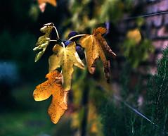 fig tree leaves (manni39) Tags: film rural vintage mediumformat garden countryside pentax takumar herbst jardin vintagecamera garten rollfilm fujisuperiaxtra400 pentax67 ländlich mittelformat formatmoyen supertakumar24105