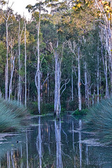 Everglades (gecko47) Tags: reflections reeds landscape lagoon brisbane swamp sedge earlymorninglight duskymoorhen paperbarks melaleucas karawathaforest