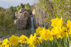 Daffodils and Waterfall (aaronrhawkins) Tags: flower water beautiful sunshine yellow festival utah waterfall spring tulips bright cliffs petal manmade tranquil daffodils