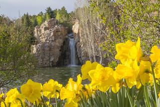 Daffodils and Waterfall