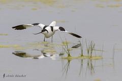 Avoceta comn (Recurvirostra avosetta) (jsnchezyage) Tags: naturaleza bird fauna birding ave pjaro recurvirostraavosetta avocetacomn limcola