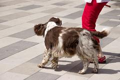 Arlo dancing to My music (Yvonne L Sweden) Tags: dog dogs sweden hund springerspaniel arlo eskilstuna hundar 160622 fristadstorget hundshow sommartorget