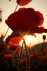 Shirley Poppy (maomao_yeah) Tags: sunset red sky flower poppy poppies shirley coquelicot papaver mohn amapola cornpoppy papaverrhoeasshirley