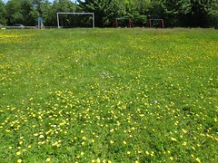 1585 Wild flowers carpet Cym-y-Glo park (Andy panomaniacanonymous) Tags: 20160602 cwmyglo fff ggg goalposts park playpark ppp wildflower www